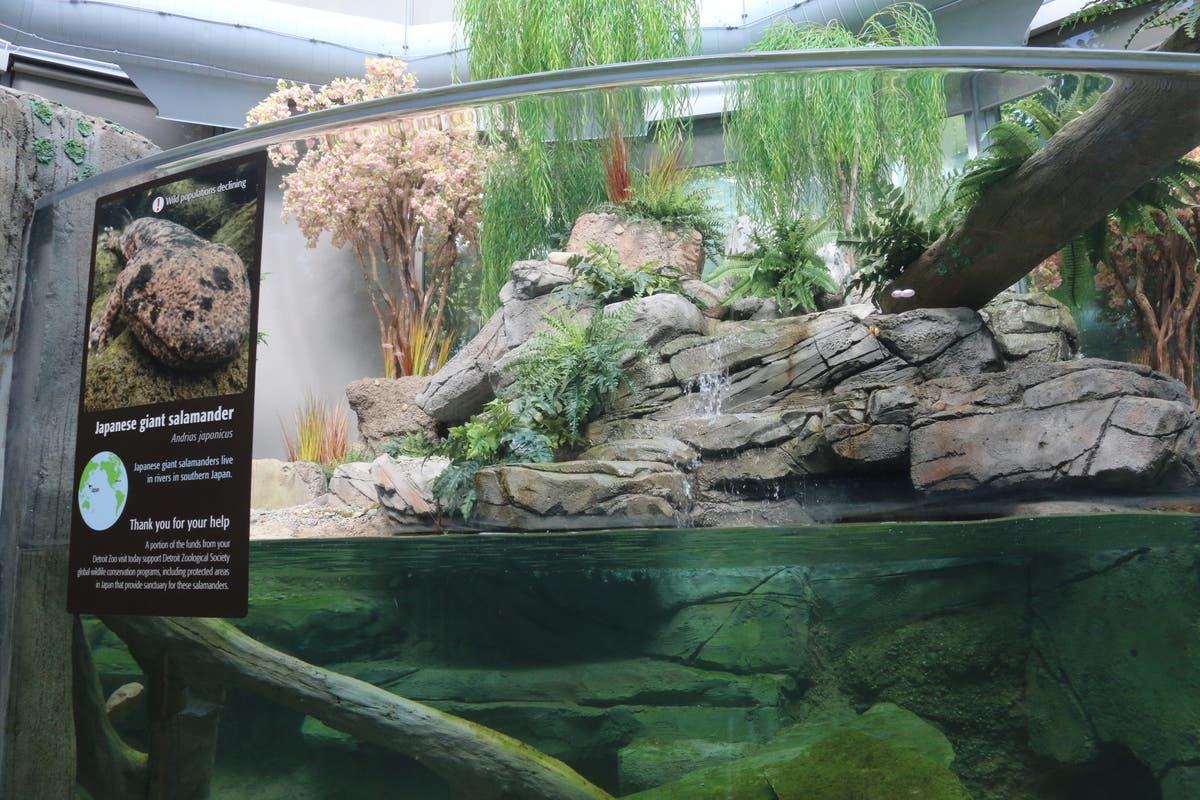 VIDEO: New Habitat Debuts At Detroit Zoo | Royal Oak, MI Patch