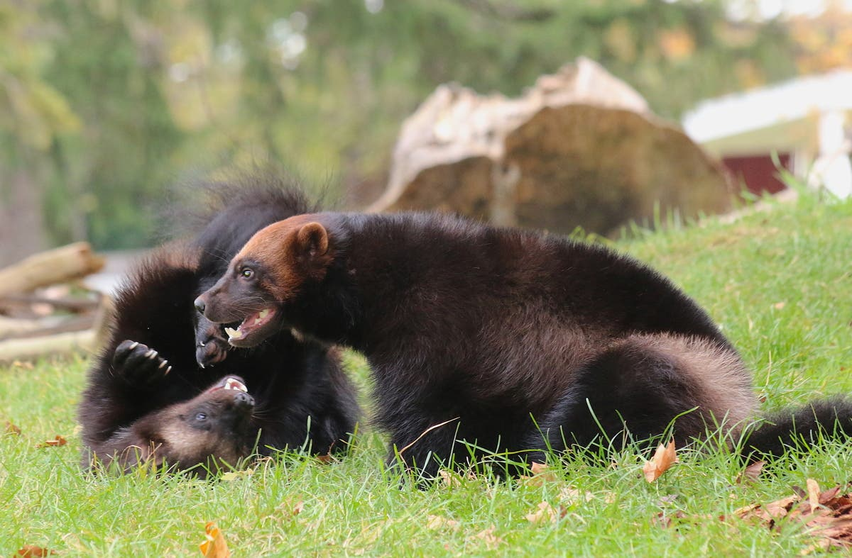 Detroit Zoo Welcomes Breeding Wolverines From Sweden Royal Oak Mi Patch