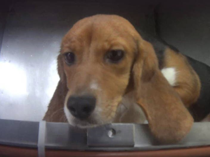Michigan Humane Society To Take In Lab Beagles Find Them Homes