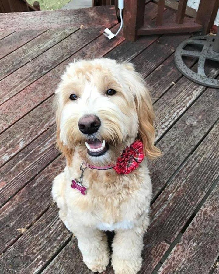 Goldie, Lost or Stolen?? | Plymouth, MN Patch