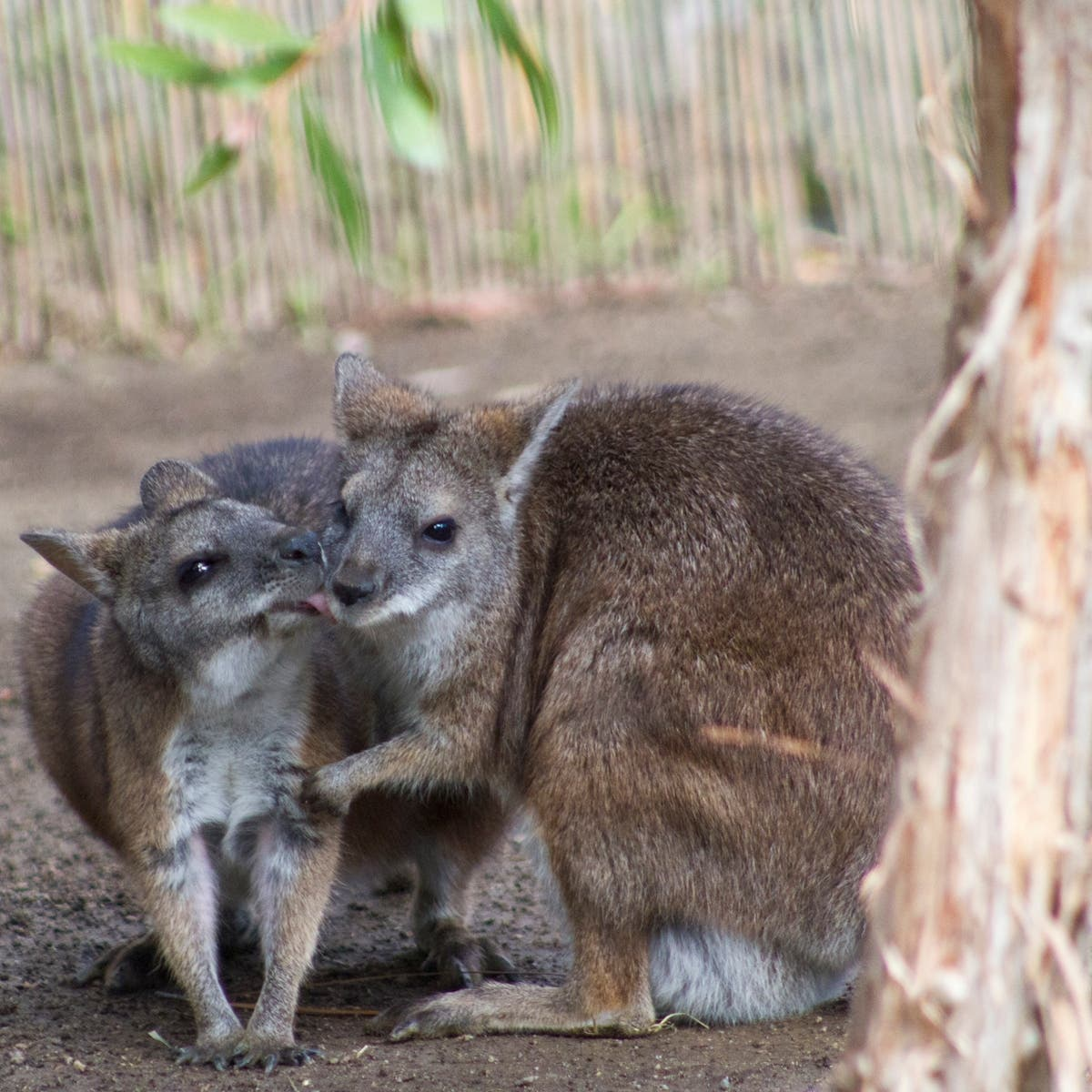 Rare Baby Wallaby Pokes Out Of Mama S Pouch At Happy Hollow Zoo Campbell Ca Patch