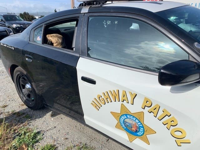 Wayward Sea Lion Kid Picked Up By CHP Received Exam