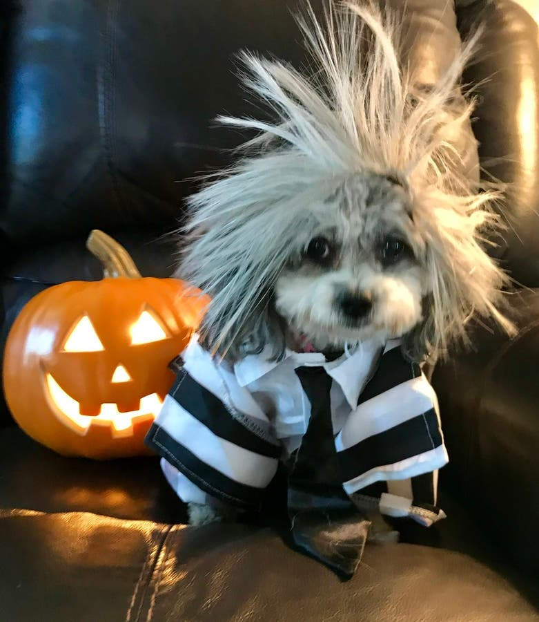 Happy Halloween From Nickie The Havanese | Las Vegas, NV Patch