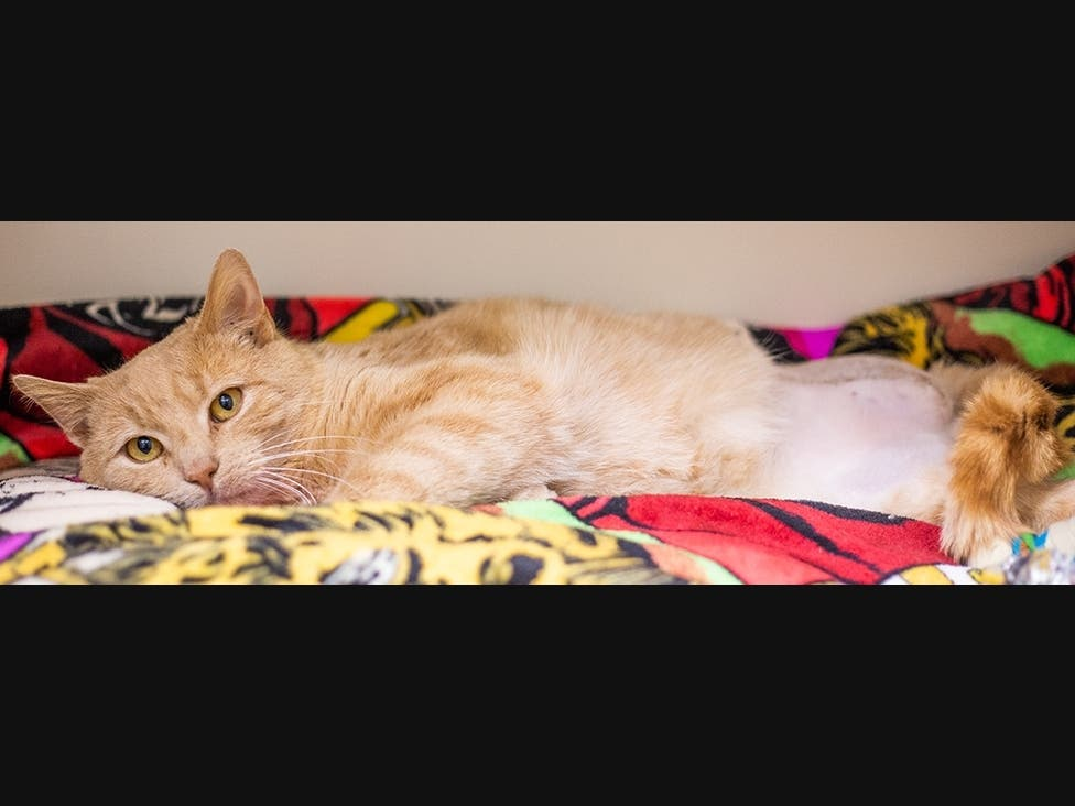 Injured Stray Cat Heals At Dedham ARL, Finds Forever Home