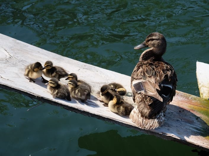Brooklyn Duck Dock Becomes Prime Real Estate For Birds In Need