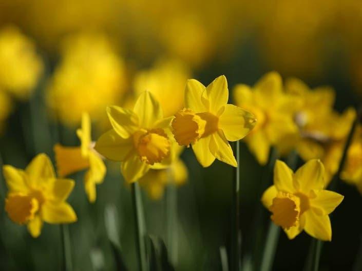 Newport Daffodil Days Window Contest Winners Announced