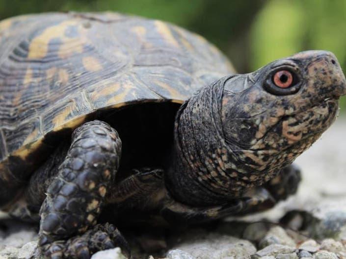 This Spring, Brake For Turtles