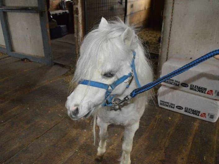 RISPCA: Rescued Mini Horse Has New Home After Flood Of Support