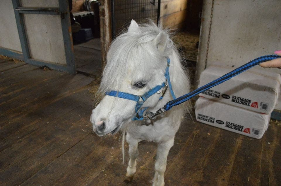 Rescued Ri Mini Horse Gets New Home To Live Happily Ever After