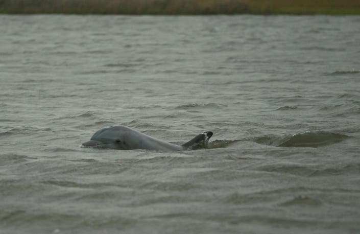 Dolphin Found Stranded In Barrington Euthanized
