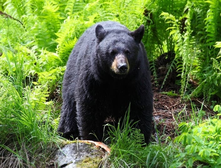 Oh, Bother: Black Bear Spotted In Coventry Back Yard
