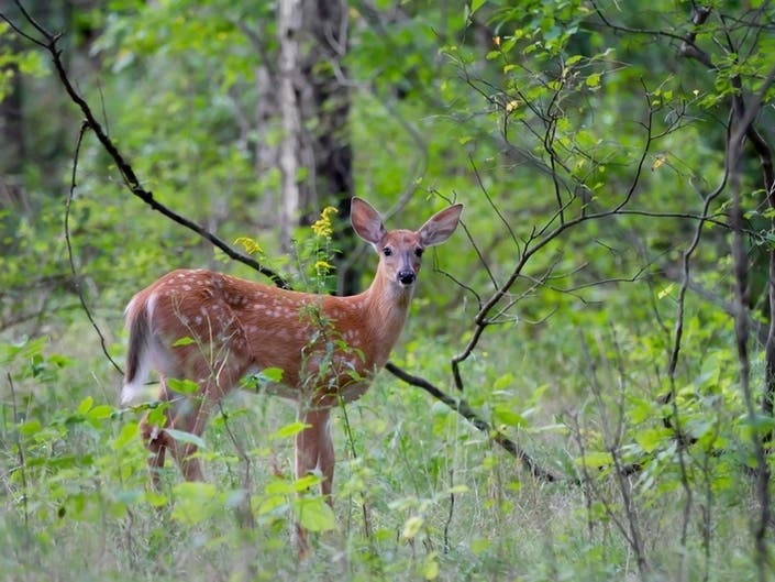 Coventry Deer Tests Positive For EEE