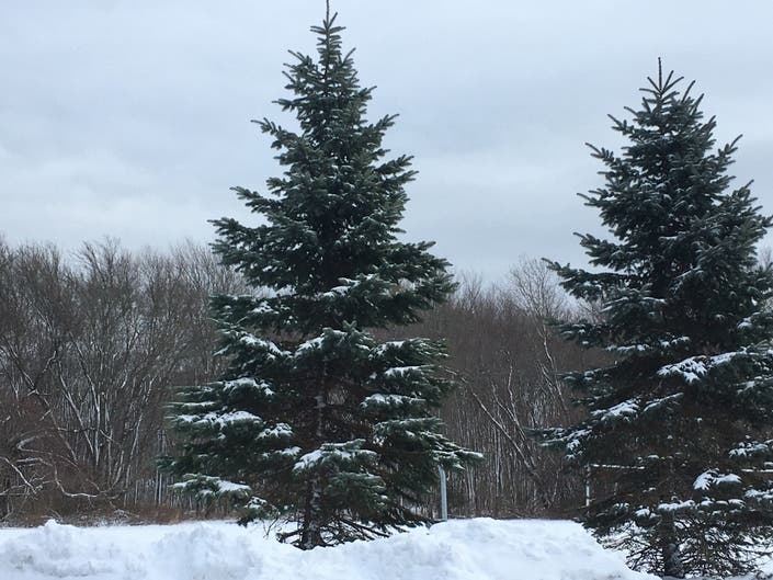 SK Police Searching For Grinch Who Stole $1,500 Tree