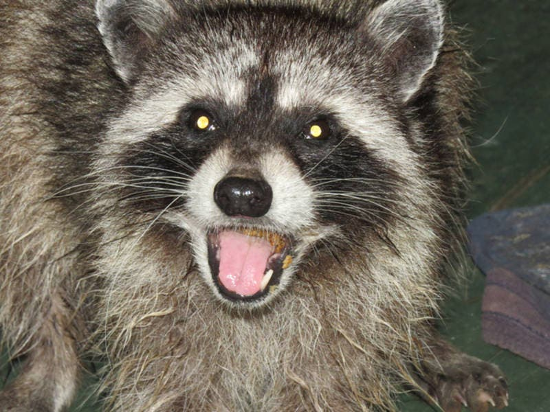 Rogue Raccoon Snarls A Train Service In Queens