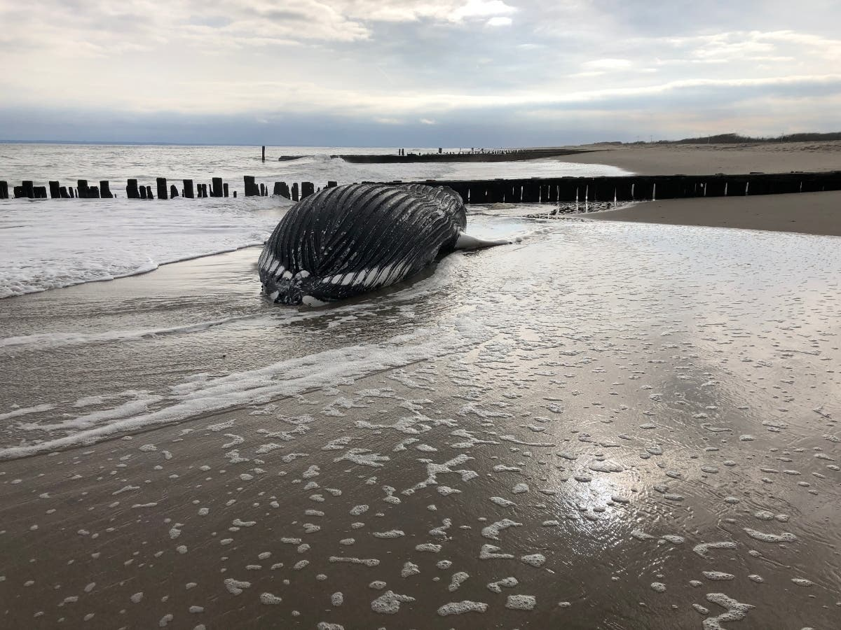 28-Foot-Long Humpback Whale Washes Ashore In Queens