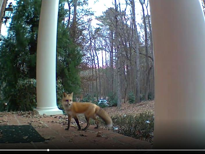 Watch: Foxes Seen Walking Up To Front Doors In Georgia