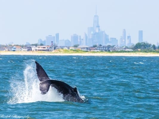 Whales Seen In Hundreds Off NYC Shores, Drawn By Cleaner Waters