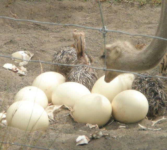 c06df967b7f May 16 | Ostrich ,Emu Chicks and Fertile Ostrich ,Emu Eggs for sale ...