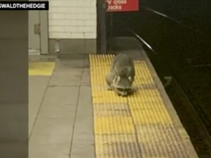 Subway Raccoon Spotted In Brooklyn Station