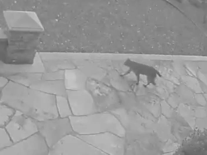 Watch: Bobcat Roams Through Peninsula Backyard
