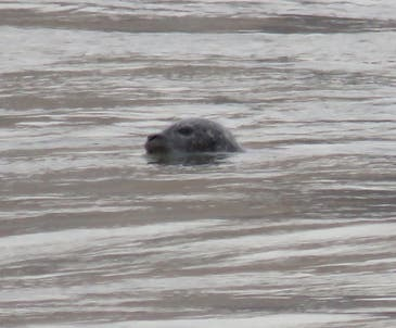 Mary Beth Kooper spotted the seal in the East River around 10 a.m. Monday off the south coast of Randall's Island — also a common destination for birdwatchers.