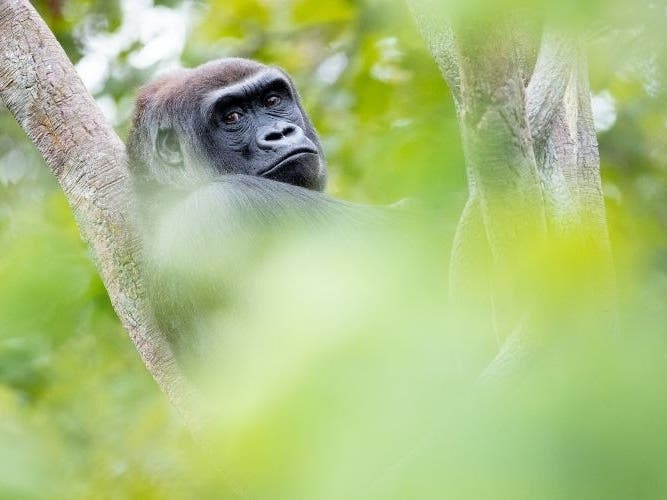 Woodland Park Zoo Gorilla Is Expecting Her First Child