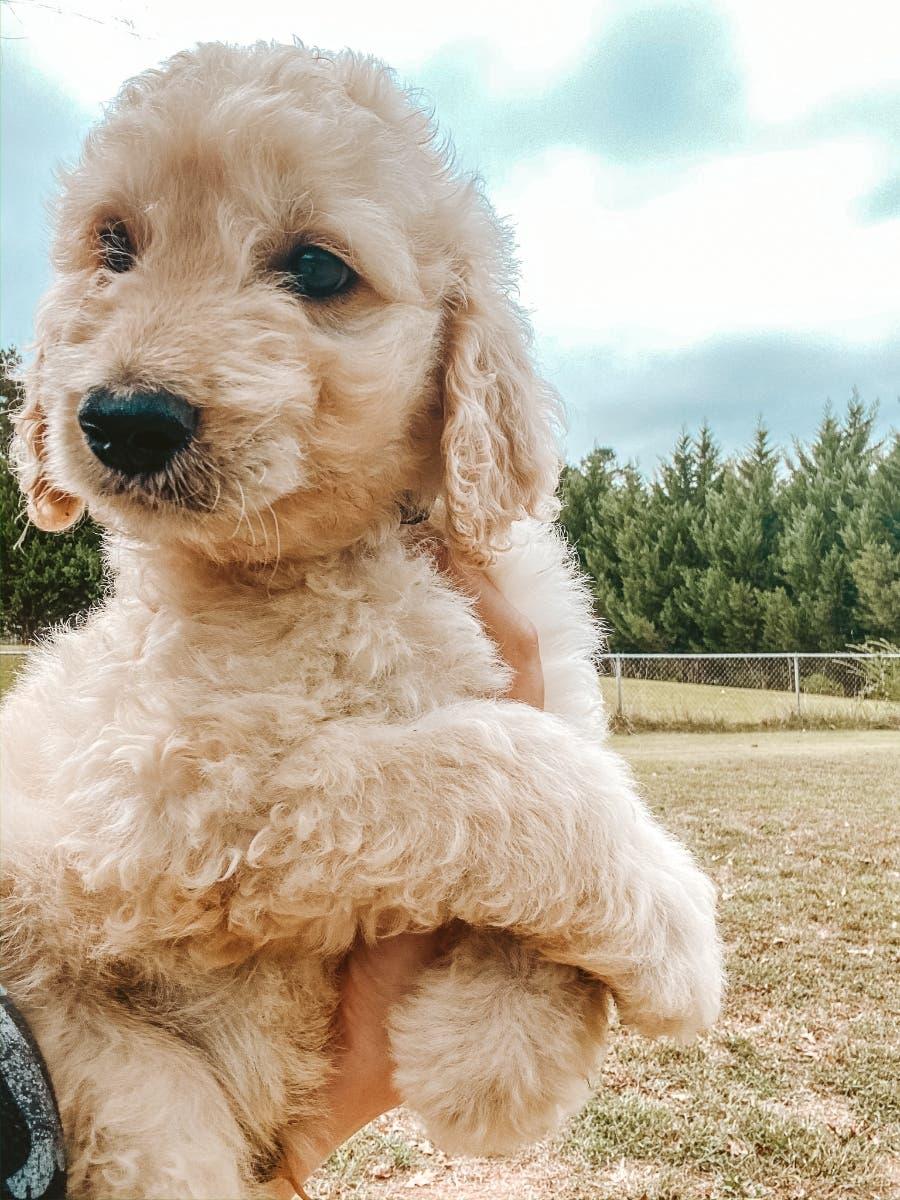 Health Guaranteed Non Shedding F1b Goldendoodle Puppies