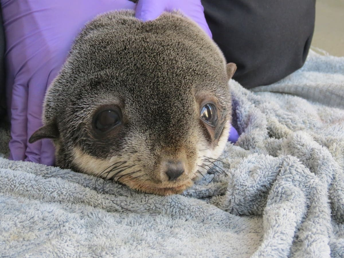 Lost Seal Pup, Found In Peninsula Parking Lot, Returned To Ocean