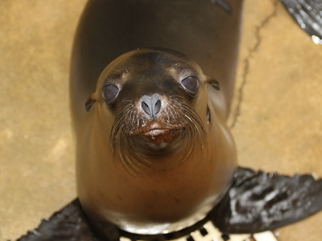 Once-Ailing Sea Lion, Rescued In Laguna Beach, Heads To Zoo