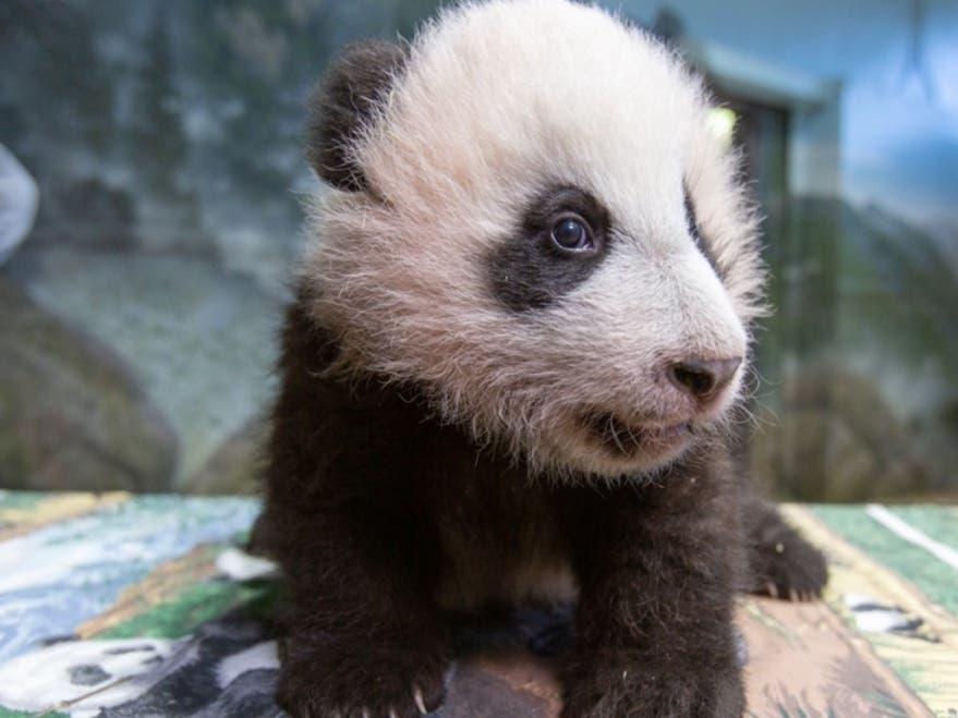 Smithsonian National Zoo's Giant Panda Cub Ready For Public Debut
