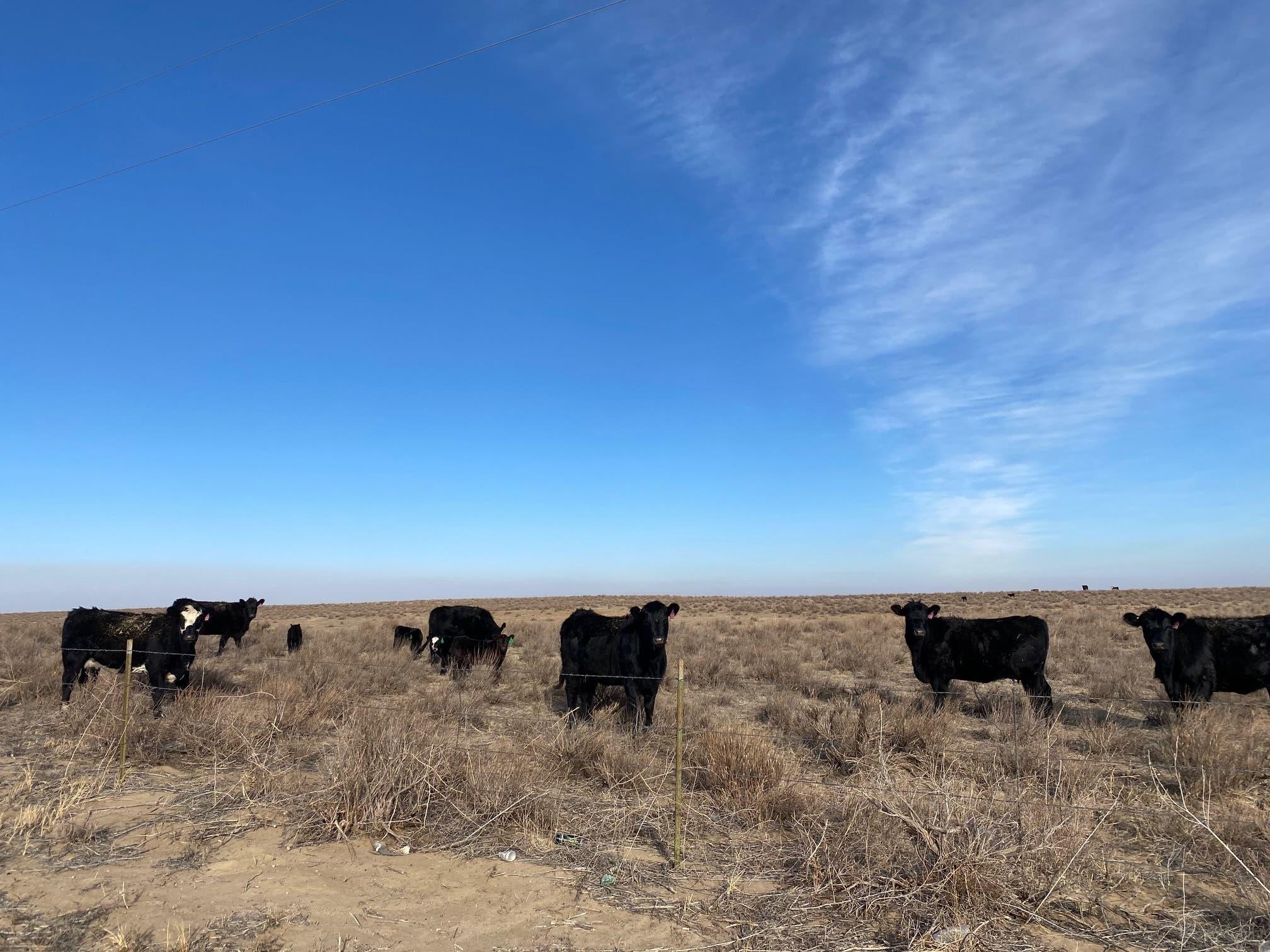Cattle are seen on a range near U.S. 287 in Kiowa County north of Eads on Feb. 7, 2021.