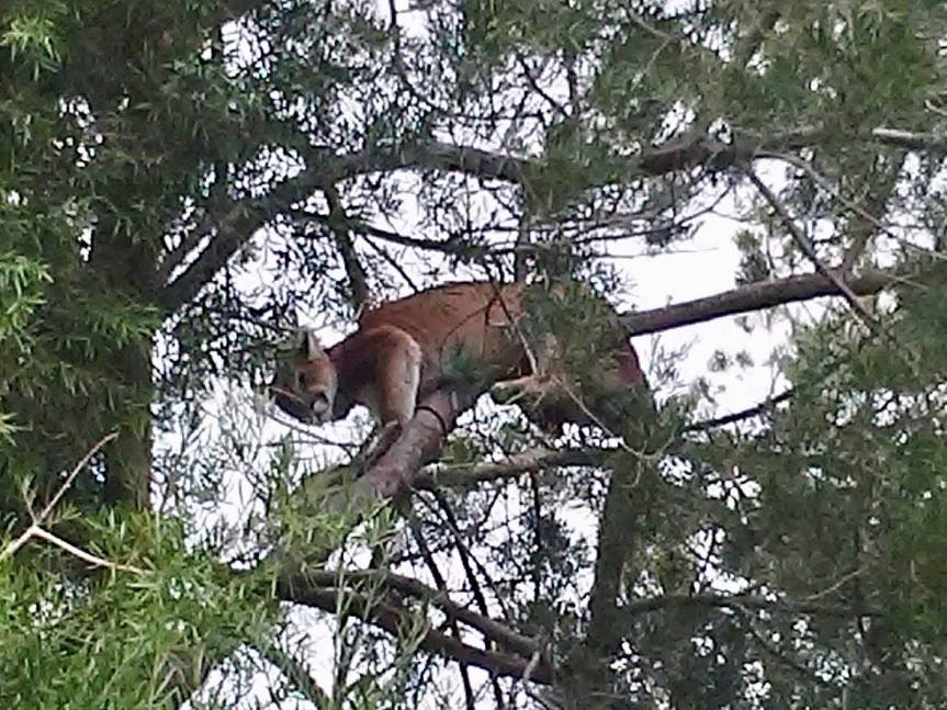 Mountain Lion Sighting In Agoura Hills Prompts Safety Warnings