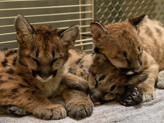 Oakland Zoo Mends 3 Mountain Lion Cubs Rescued From The Zogg Fire