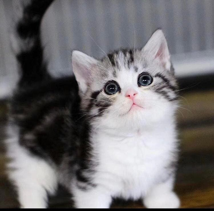 13 weeks Munchkin kittens for loving homes - Los Angeles, CA Patch