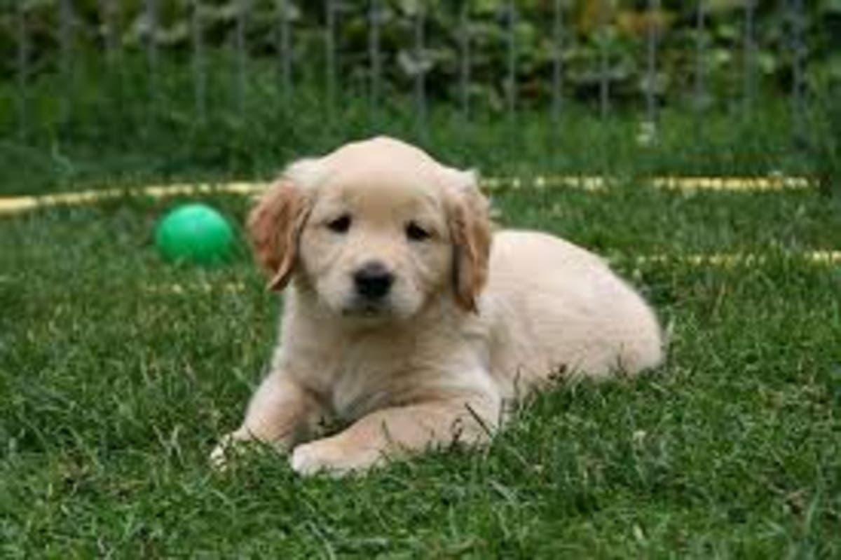 Finding a reputable dog breeder | Gwinnett, GA Patch