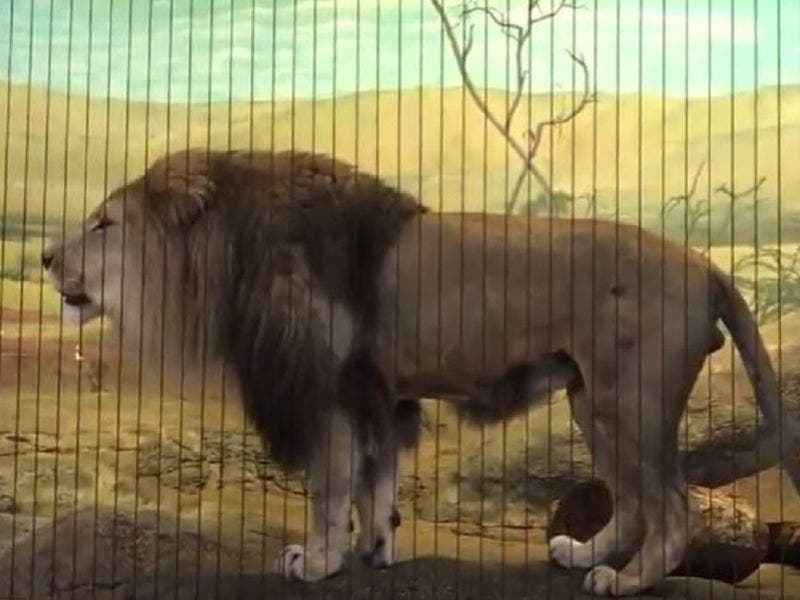 lincoln park zoo visitor who scaled lion exhibit fence was in no