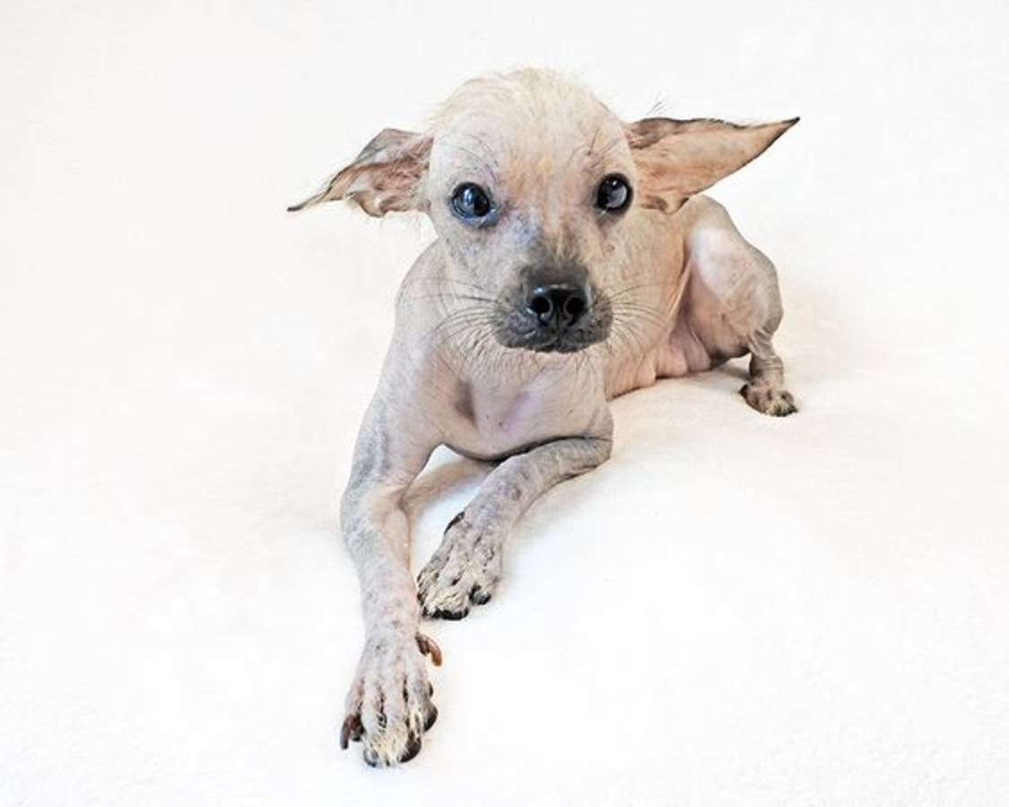 Naked Dogs Rescued From Silicon Valley Hoarder Need Home