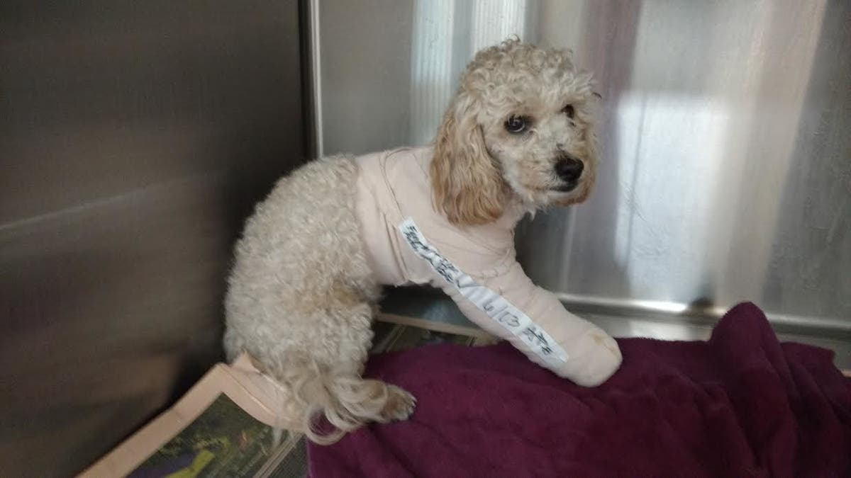 Animal Cruelty Charges Filed In Barbaric Poodle Throwing