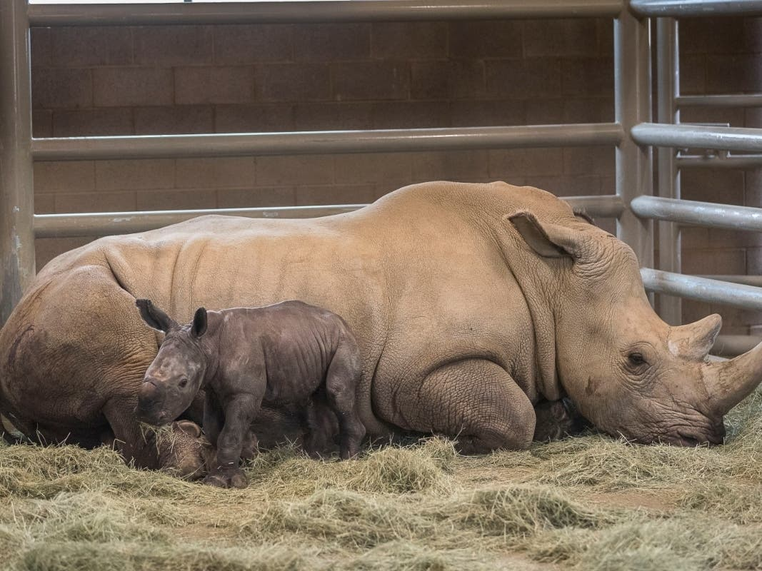 Rhino S Historic Birth Could Help Save Subspecies From