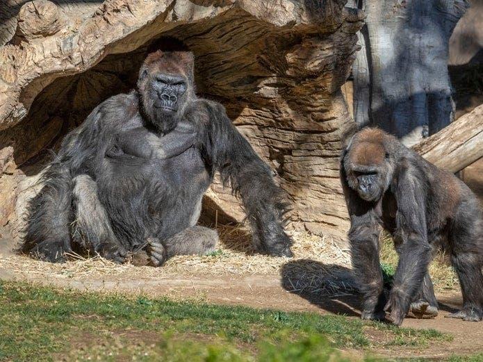 Gorillas Test Positive; Largest Vaccination Center: CA Stories