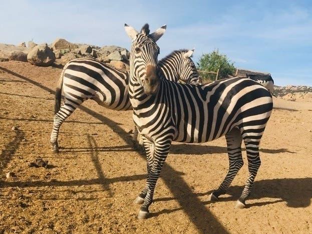 zebras   09190649830.