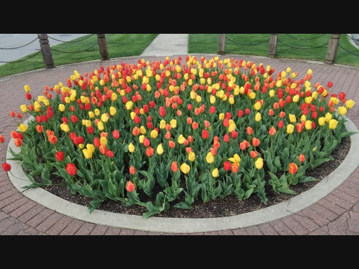 Park District Tulip Bulb Sale to Take Place Online June 1-3