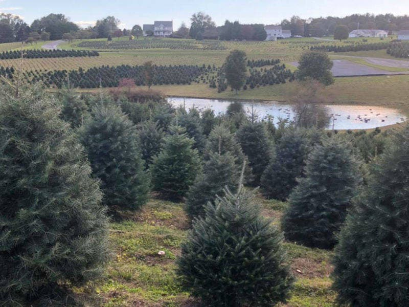 Best Christmas Tree Farm In Maryland And Others You Can