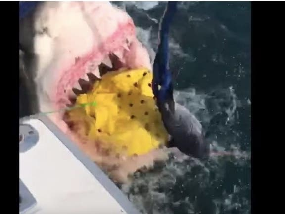 Videos Show Monster Great White Shark Off NJ: Patch PM