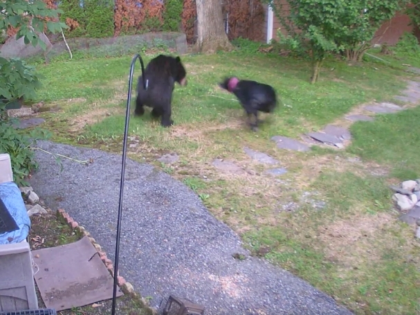 Watch Dog Fight Off Bear In West Milford Backyard: Patch PM