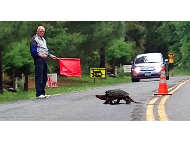 Slow Turtle Crossing >> Turtles Crossing Western Highway Pearl River Ny Patch