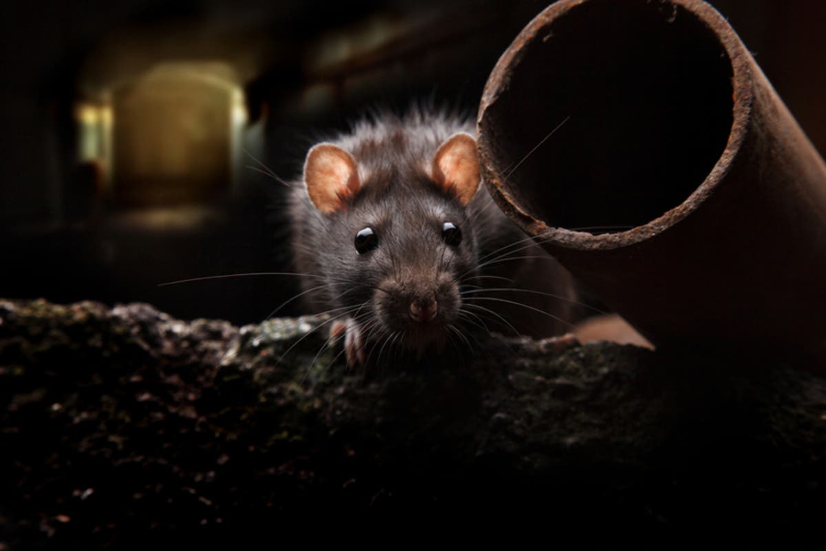 Baltimore On Most Rat-Infested Cities List Again: Orkin