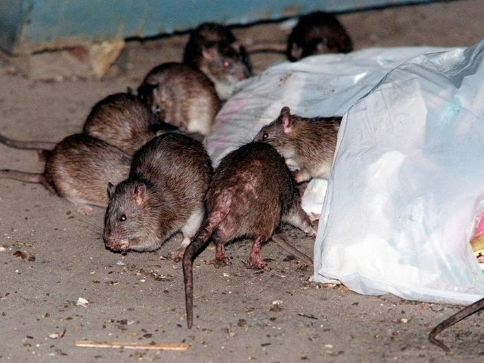 Birth Control Prescribed For Citys Rats: Patch PM