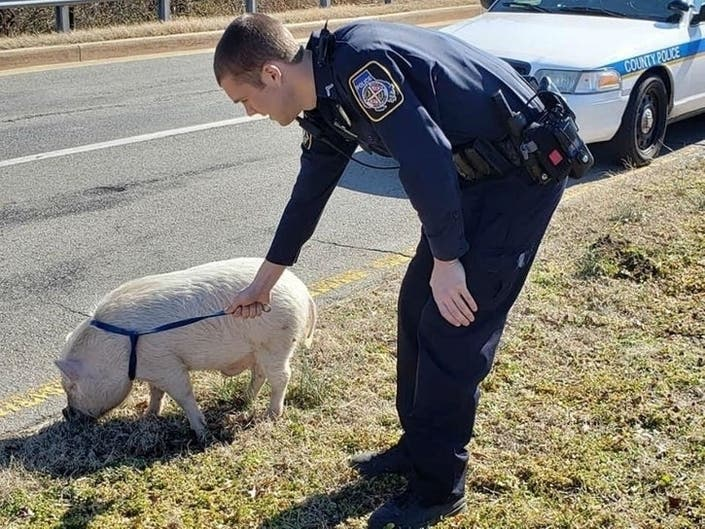 Wandering Pigs Bacon Saved By Police Officer: Patch PM