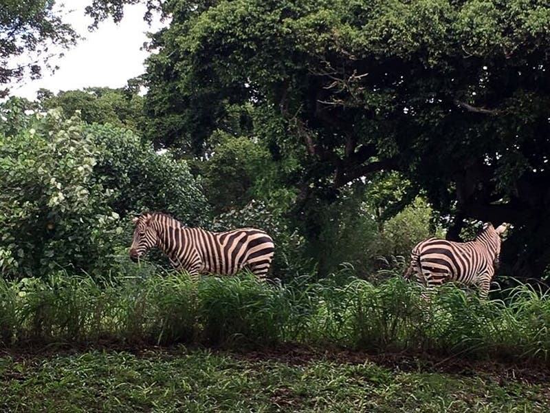 Multiple zebras on the loose in southern Maryland